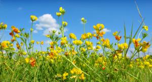 Yellow_wild_flowers